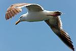 Flying Seagull, Seal Beach, CA.