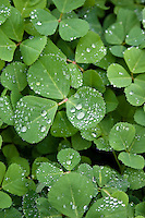 Bright green spring clover, sprinked with spring raindrops.