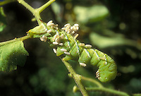 Tomato Hornworm Manduca quinquemaculata garden insect caterpillar pest being parasitized by natural predator Braconid wasp, letting nature take its course in elimination of pest without pesticides, organic methods of biological control