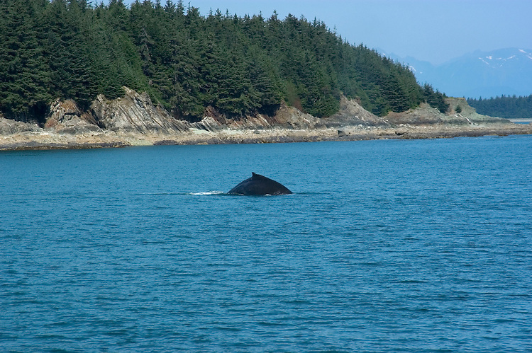 Alaska, Juneau: Wildlife viewing (humpback whales) and scenery on trip on Lynn Canal aboard the Admiralty Wind from Auke Bay..Photo #: alaska10222 .Photo copyright Lee Foster, 510/549-2202, lee@fostertravel.com, www.fostertravel.com..