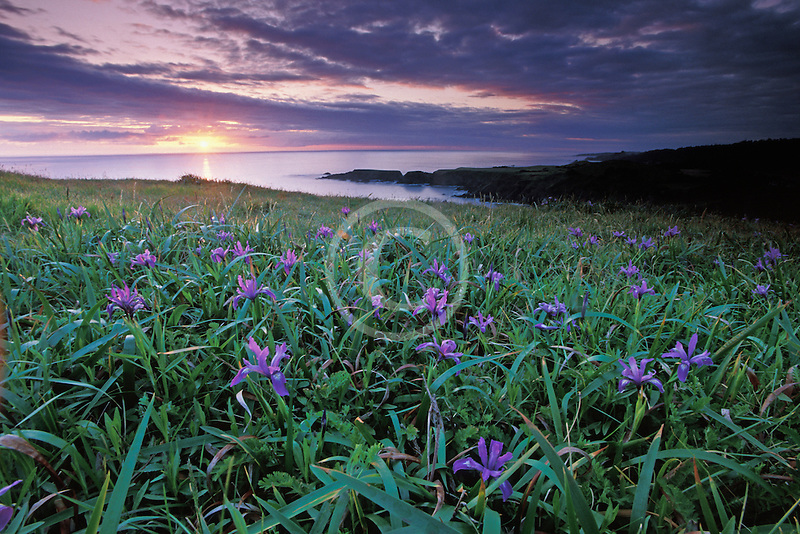 California, Mendocino County, Sunset and wild iris, Albion Cove
