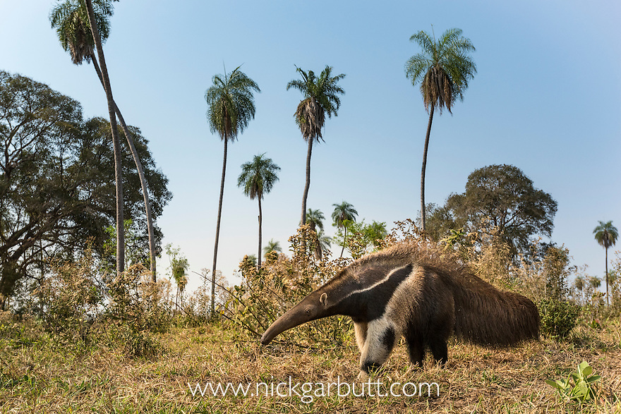 Adult Giant Anteater (Myrmecophaga tridactyla) (sometimes called Giant Ant Bear) foraging in palm savannah grasslands. Southern Pantanal, Moto Grosso do Sul State, Brazil. September.