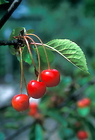 Sour Cherry 'Montmorency' fruit growing on tree