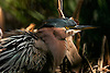 Green Heron (Butorides virescens), Fullerton Arboretum, California