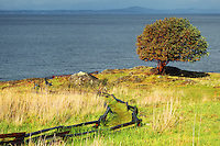 Pacific Madrone tree and trail through prairie, Westside Preserve, San Juan Island, Washington, USA
