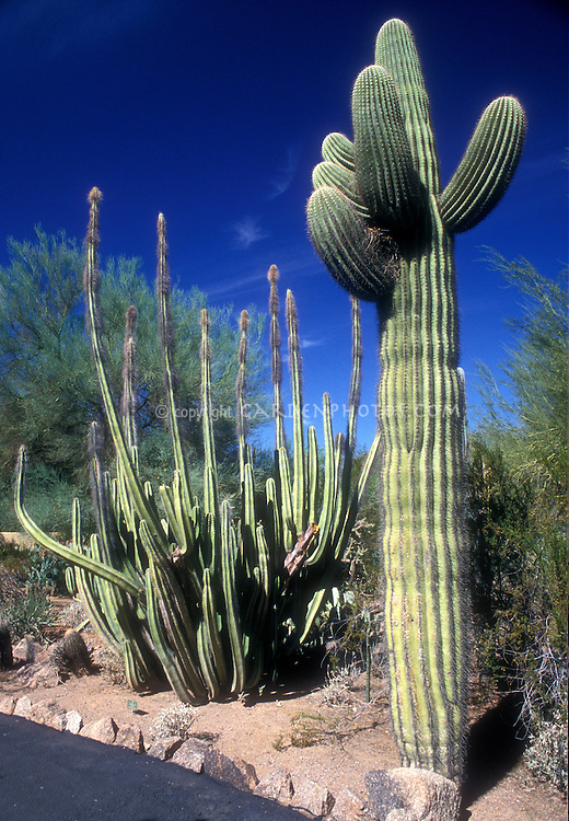 Desert Plant Saguaro Cactus growing in garden landscape agains vivid blue Arizona sky with