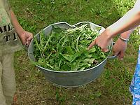 Kinder sammeln Löwenzahn und Gras als frisches Futter für ihre Zwergkaninchen, Zwerg-Kaninchen, Ernte, ernten, pflücken