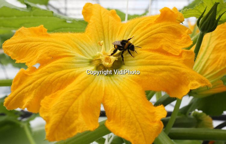 Foto: VidiPhoto..'s GRAVENZANDE - Oogst van courgettebloemen (courgettefleurs) bij Courgettefleurs Zwinkels in het Zuid-Hollandse 's Gravenzande. De bloemen van courgettes blijken na behandeling enorm smakelijk en zeer populair in de horeca. De bestuiving van de planten gebeurt op biologische wijze met hommels..