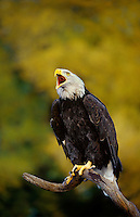 521040056 a captive wildlife rescue adult bald eagle calls out while perched on a dead snag over a small pond in central colorado this bird cannot fly and is a permanent wildlife care facility resident
