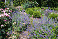 Catmint Nepeta blue flowers with pink roses, blue house, flagstone path through rambling loose cottage style garden plantings