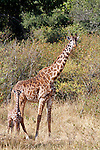 Africa, Kenya, Masai Mara. Maasai Giraffe and young baby at side.