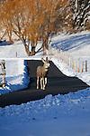 Mule deer buck walking down a driveway in early winter in Montana