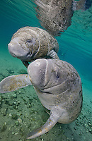 RQ31152-D. Florida Manatees (Trichechus manatus latirostris), two juveniles interacting with each other. Though local population numbers are apparently increasing slowly, manatees are still quite vulnerable to cold stress, toxic red tides, and injury from collision with speeding boats. Florida, USA.<br /> Photo Copyright &copy; Brandon Cole. All rights reserved worldwide.  www.brandoncole.com