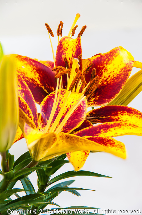 Three yellow and red Asiatic Lily blossoms are stacked one behind the other against a white backgound.