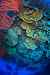 A rich tapestry of corals adorn Susan's Reef in Kimbe Bay off New Britain Island, Papua New Guinea.  A single coral reef here can house more species of coral than the entire Caribbean.