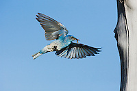 Mountain Bluebird (Sialia currucoides), male landing at nesting cavity, Rocky Mountain National Park, Colorado, USA