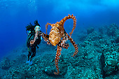 Day Octopus (Octopus cyanea) and diver, Hawaii, USA. MR.