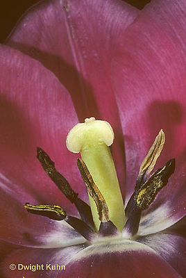 HS08-008d  Flower Reproduction - petals, stamens surrounding pistil - Tulipa spp.