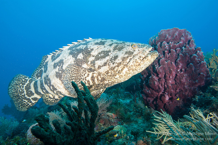 Goliath grouper fish cuba matthew meier for Goliath grouper fish