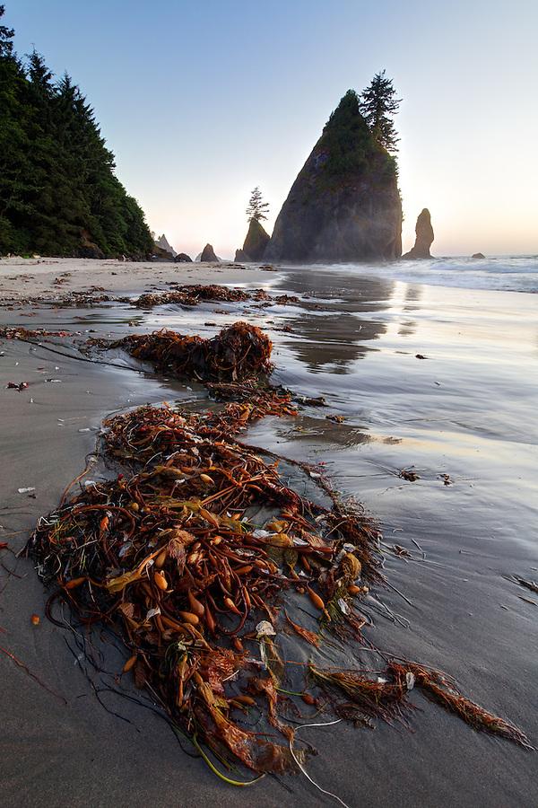 Sunset over ocean waves, sea stacks and giant kelp washed up on sandy beach, Shi Shi Beach, Olympic National Park, Washington Coast, USA
