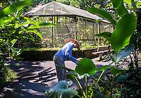 A tourist takes a cell phone photo of a big ape leaf near the founders' birdhouse at Hawai'i Tropical Botanical Garden, Onomea, Big Island of Hawaiʻi.