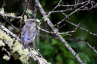 A bluebird perched in a Santa Rosa plum tree outside Willits in Mendocino County in Northern California.