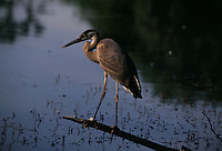 Blue heron perches in Jackson Park in Chicago.
