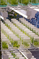 Plants growing inside laboratory flasks in sterile conditions, propagation and cloning, orchid meristems mass production