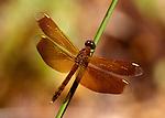 Darner Hawker Dragonfly, Family: Aeshnidae, dark red colour, Sabah, Borneo.Borneo....