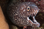 Gardens of the Queen, Cuba; a Spotted Moray Eel with it's mouth open, poking it's head out of an opening in the coral reef
