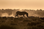Plains zebra, Equus burchelli, at sunset, Etosha National Park, Namibia, Africa
