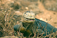 "The Galápagos land iguana. Its generic name, Conolophus, is derived from the Greek words, conos meaning ""spiny"" and lophos meaning ""crest."" It is estimated that between 5,000 and 10,000 land iguanas are found in the Galápagos, primarily the islands of Fernandina, Isabela, Santa Cruz, North Seymour, Hood."