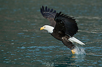 Bald eagle fishing in Alaska