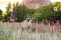 Foraging mule deer in a grassy meadow at sunup in South Valley Park Ken-Caryl Ranch Open Space, Colorado.