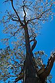 A koa tree in upcountry Big Island.