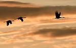Sandhill cranes fly through the sunset sky over the Platte River near Grand Island, Nebraska.