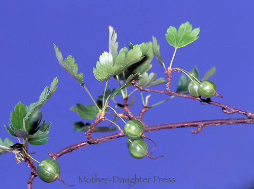 Gooseberries on vine with blue sky