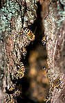 Wild honey bee hive