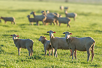 Merino Sheep flock amongst the lands, Bredasdorp, Overberg, Western Cape, South Africa,