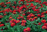 Zinnia 'Scarlet Splendor' - AAS Winner 1990 Tall Dahlia flowered
