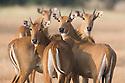 India, Gujarat Group of female nilgai (Boselaphus tragocamelus), dry season