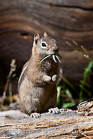 Ground squirrel munching on a snack.