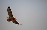 Eurasian Eagle owl (Bubo bubo), Sleneset, Helgeland, Norway