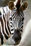 Burchell's zebra, Africa