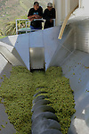 Foto: VidiPhoto..ROBERTSON - Bij het Zuid-Afrikaanse Robertson in de provincie West-Kaap is woensdag bij de bekende wijnboer Van Loveren de druivenoogst voor de Light White Semillon van start gegaan. De Semillonwijn is een lichte frisse wijn met slechts 9 procent alcohol die begin april al te koop is in de winkels van Gall en Gall in Nederland. Van Loveren is één van de grootste particuliere wijnboeren van Zuid-Afrika met een productie van 5 miljoen flessen wijn per jaar en 300 ha.druiven. Ongeveer 15 procent van de wijn is bestemd voor de export. Gall en Gall krijgt 9000 flessen geleverd.