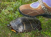 1R14-518z Stepping on shell of Painted Turtle. Shell provides protection, Chrysemys picta