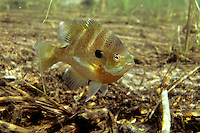 Bluegill (male on spawning nest)<br />