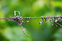 A detail in the vineyards of Chateau Gazin, A metal wire with old dried vine tendrils that twine and twirl Pomerol Bordeaux Gironde Aquitaine France