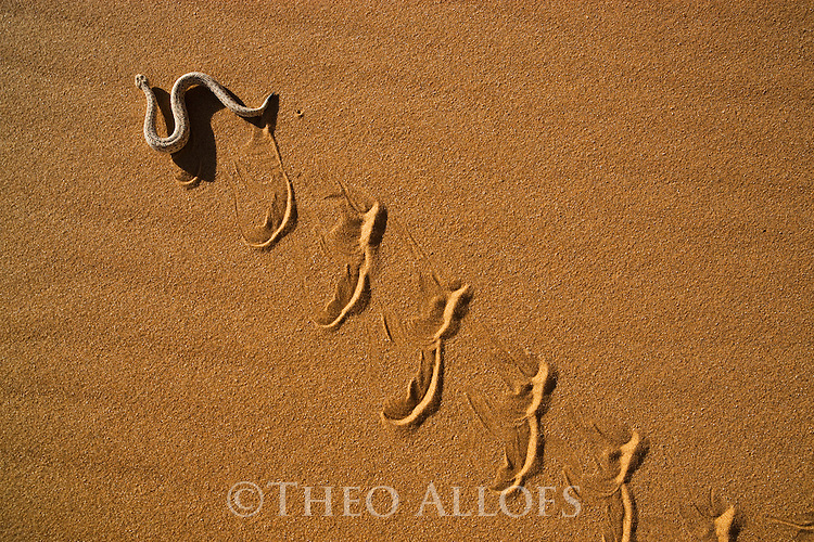 Namibia;  Namib Desert, Skeleton Coast, sidewinding adder moving on sand dune (Bitis peringueyi)