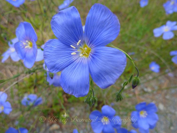 Blue Flax Wildflowers